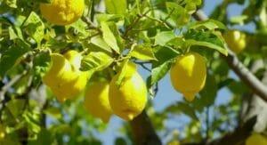 lemon tree essential oil